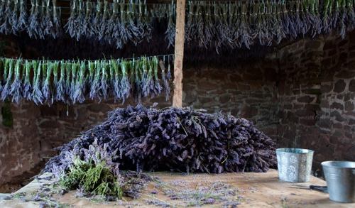 Lavender drying in the barn