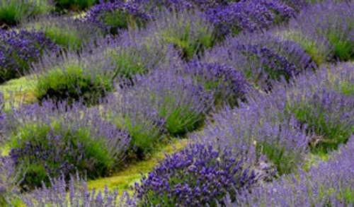 lavender gifts, luxury skincare brands, welsh gifts online