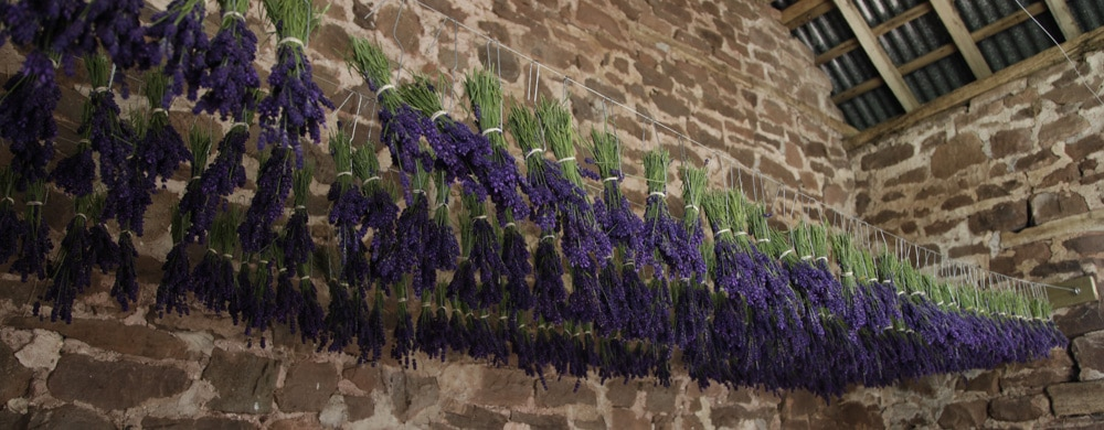 Bunches of lavender drying in our barn