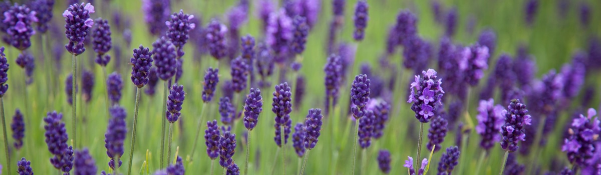 things to do in mid wales, lavender hand cream, gifts for farmers