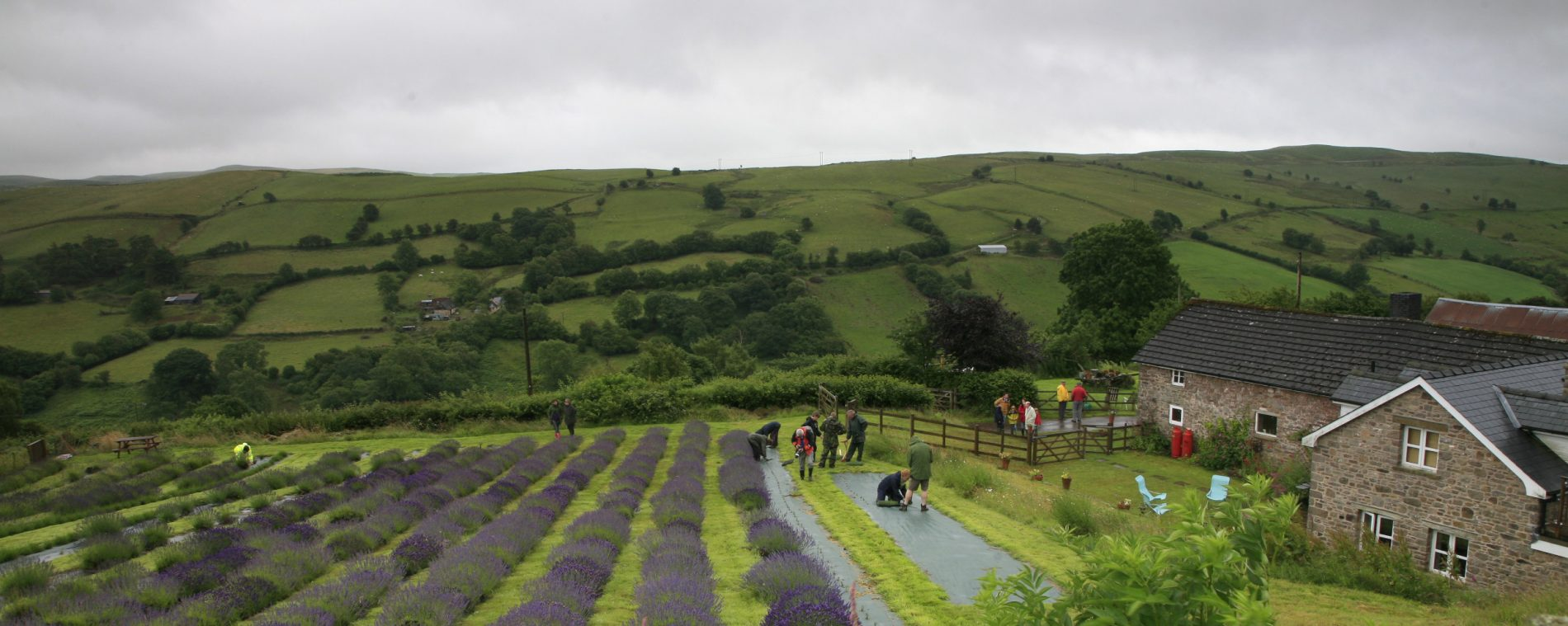 FARMERS' at work in the lavender field