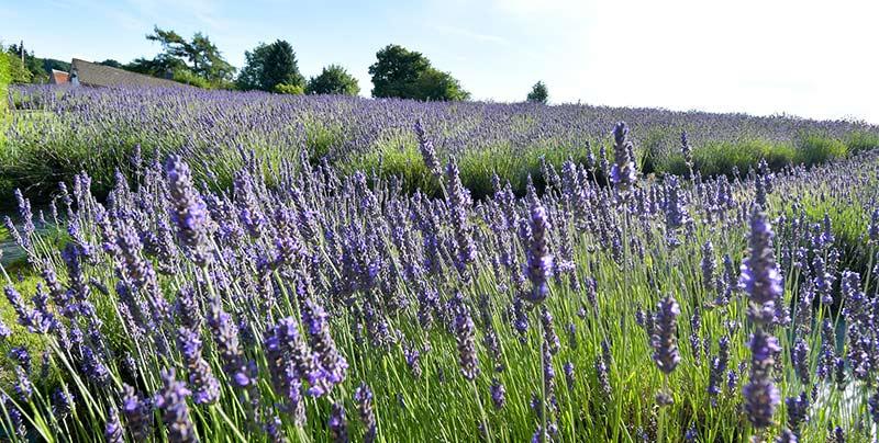 FARMERS' lavender field